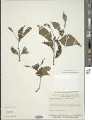 view Varronia multispicata (Cham.) Cham. digital asset number 1