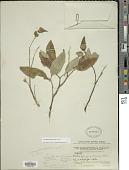 view Varronia polyantha (Benth.) Friesen digital asset number 1