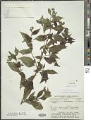 view Varronia dichotoma Ruiz & Pav. digital asset number 1