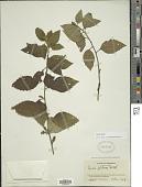 view Varronia bullata L. digital asset number 1