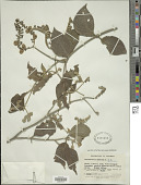 view Tournefortia scabrida Kunth digital asset number 1
