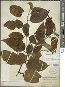 view Varronia spinescens (L.) Borhidi digital asset number 1