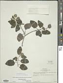 view Varronia subtruncata (Rusby) Friesen digital asset number 1