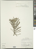 view Tournefortia gnaphalodes (L.) R. Br. digital asset number 1