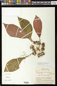 view Glossoloma medusaeum (L.E. Skog) J.L. Clark digital asset number 1