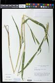 view Eriochloa villosa (Thunb.) Kunth digital asset number 1