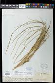 view Eriochloa fatmensis (Hochst. & Steud.) Clayton digital asset number 1