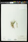 view Paspalum prostratum Scribn. & Merr. digital asset number 1