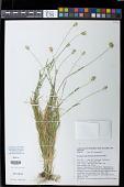 view Eremopyrum triticeum (Gaertn.) Nevski digital asset number 1