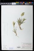 view Lamarckia aurea (L.) Moench digital asset number 1