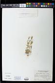 view Orcuttia viscida (Hoover) Reeder digital asset number 1