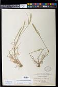 view Gastridium phleoides (Nees) C.E. Hubb. digital asset number 1