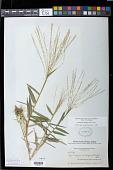 view Gymnopogon ambiguus (Michx.) Britton, Stearns & Poggenb. digital asset number 1
