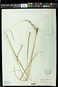 view Cleistachne sorghoides Benth. digital asset number 1