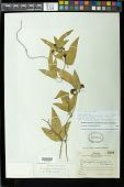 view Passiflora suberosa subsp. litoralis (Kunth) Port.-Utl. et al. digital asset number 1