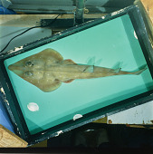 view Rhinobatos punctifer digital asset number 1