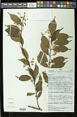 view Vangueriella soyauxii (K. Schum.) Verdc. digital asset number 1