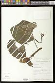 view Corytoplectus speciosus var. orbicularis Rodr.-Flores & L.E. Skog digital asset number 1