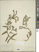 view Anchusa officinalis L. digital asset number 1