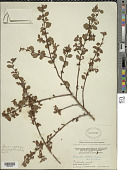 view Comolia villosa (Aubl.) Triana digital asset number 1