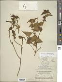 view Rhynchanthera grandiflora (Aubl.) DC. digital asset number 1