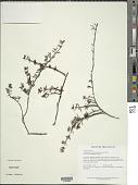 view Acisanthera hedyotidea (C. Presl) Triana digital asset number 1