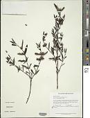 view Comolia vernicosa (Benth.) Triana digital asset number 1