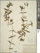 view Pterolepis glomerata (Rottb.) Miq. digital asset number 1
