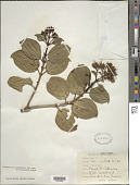 view Charianthus grenadensis Penneys & Judd digital asset number 1
