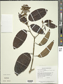 view Macairea pachyphylla Benth. digital asset number 1