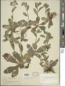 view Lithospermum tuberosum digital asset number 1