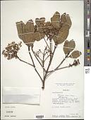 view Tateanthus duidae digital asset number 1