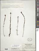 view Siphanthera cordifolia (Benth.) Gleason digital asset number 1
