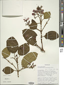view Dichaetanthera cordifolia Baker digital asset number 1