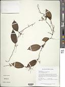 view Phainantha laxiflora (Triana) Gleason digital asset number 1