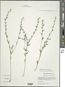 view Buglossoides arvensis (L.) I.M. Johnst. digital asset number 1