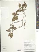 view Macrocentrum cristatum (DC.) Triana digital asset number 1