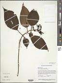 view Leandra agrestis (Aubl.) Raddi digital asset number 1