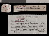 view Perognathus fasciatus fasciatus digital asset number 1