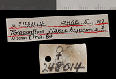 view Perognathus flavus hopiensis Goldman, 1932 digital asset number 1