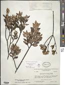 view Graffenrieda fruticosa Wurdack digital asset number 1