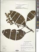view Miconia hadrophylla Wurdack digital asset number 1