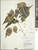 view Aciotis purpurascens (Aubl.) Triana digital asset number 1