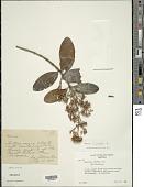 view Macairea thyrsiflora DC. digital asset number 1