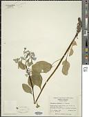 view Mertensia virginica (L.) Pers. ex Link digital asset number 1