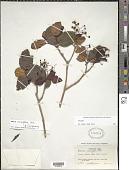 view Miconia cerasiflora Urb. digital asset number 1