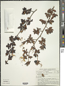 view Acanthella sprucei Benth. & Hook. f. digital asset number 1