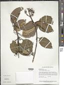 view Meriania urceolata Triana digital asset number 1