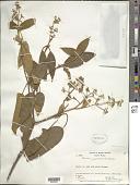 view Miconia campestris (Benth.) Triana digital asset number 1