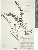 view Comolia microphylla Benth. digital asset number 1